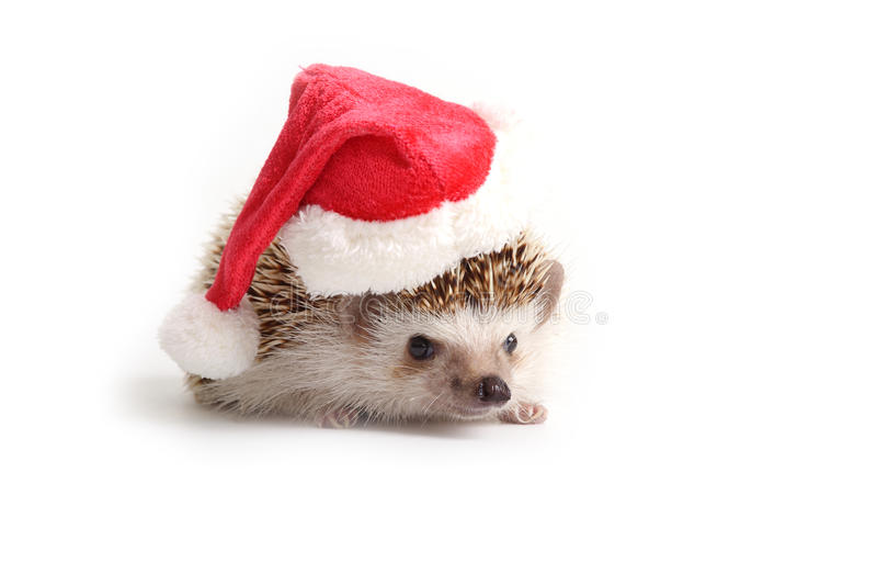 Hedgehog wearing red santa hat. royalty free stock image