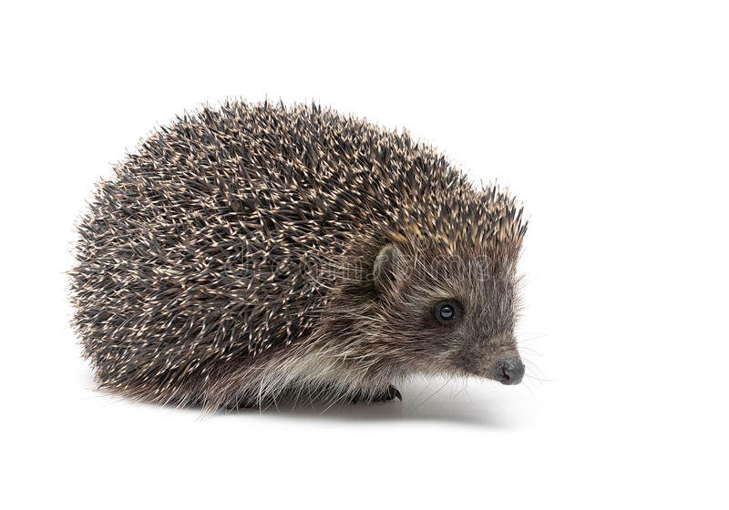 Hedgehog on white background. Horizontal photo royalty free stock images