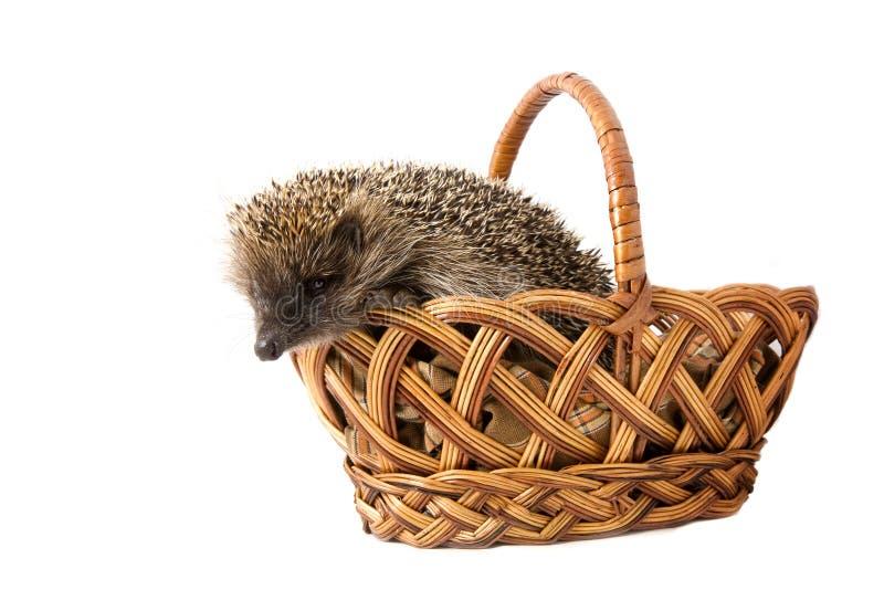 Hedgehog in a wicker basket stock photography