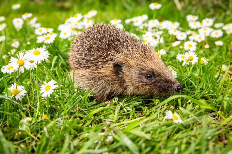 Hedgehog, wild, native, European hedgehog in natural garden habitat with green grass and white daisies stock photo