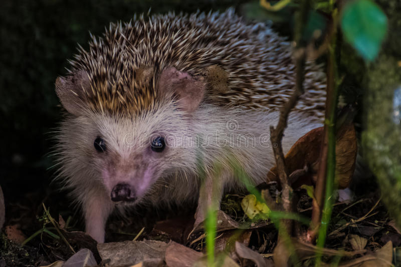 Hedgehog in wildness royalty free stock photo
