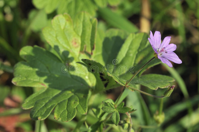 Hedgerow Cranesbill royalty free stock photography