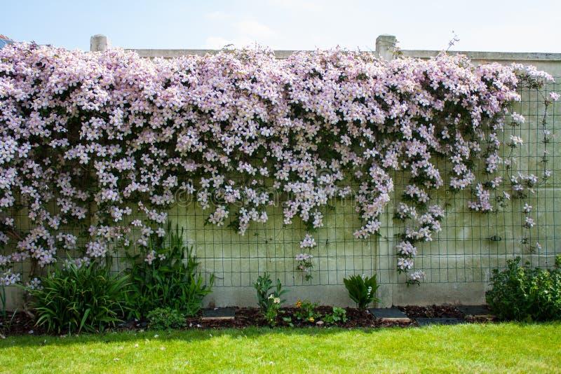 Hedgerow da flor na parede branca fotos de stock royalty free