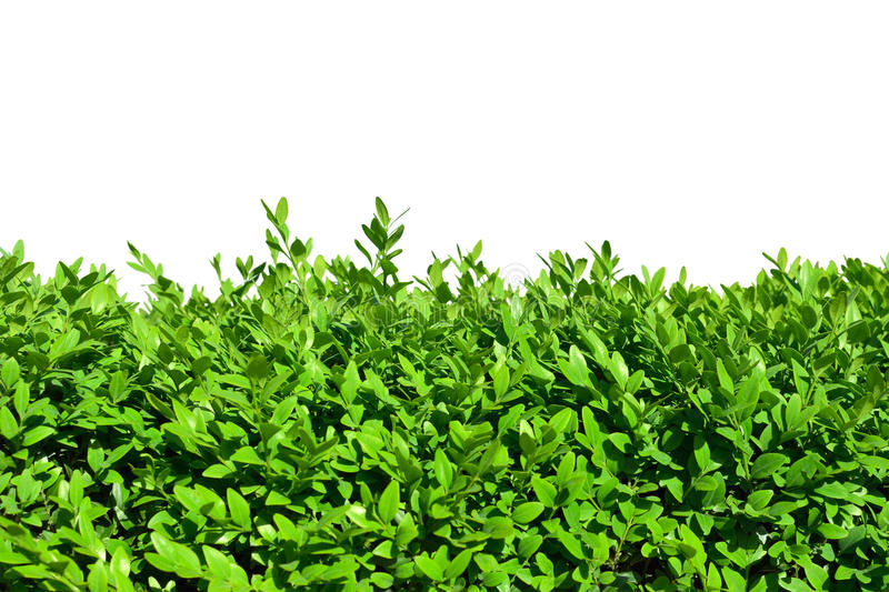 Hedges of boxwood. On a white background stock photos