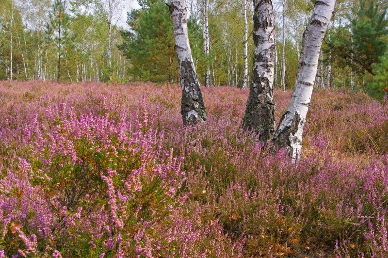 Download Hedlandskap Med Blomningljung Fotografering för Bildbyråer - Bild av purpurt, erica: 78725021