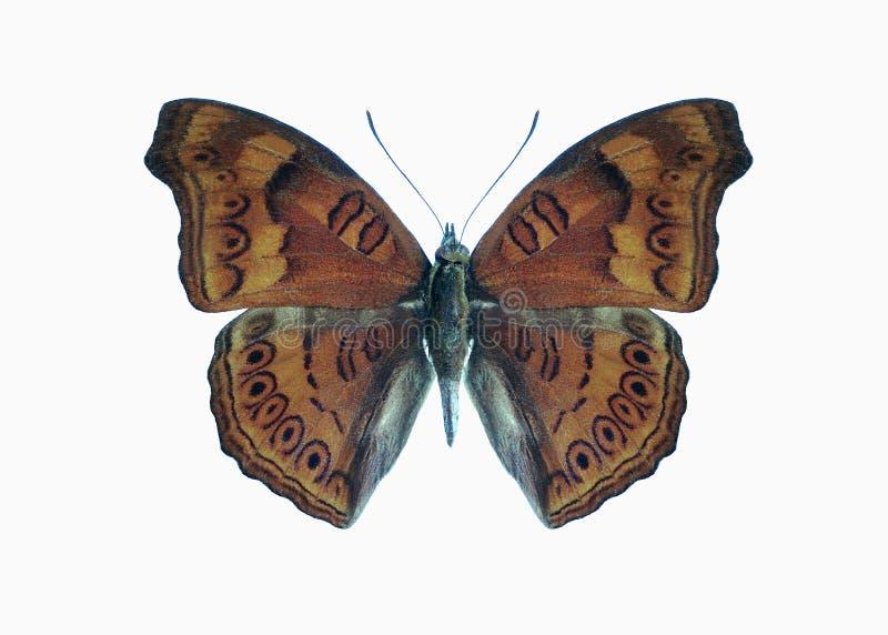 Hedonia van de vlinder van de Samenvattingen (Junonia) stock afbeeldingen