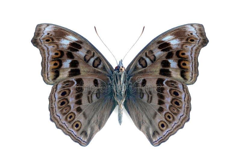 Hedonia van de vlinder van de Samenvattingen (Junonia) (onderkant) stock foto's
