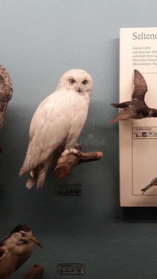 Hedwig στοκ εικόνες με δικαίωμα ελεύθερης χρήσης