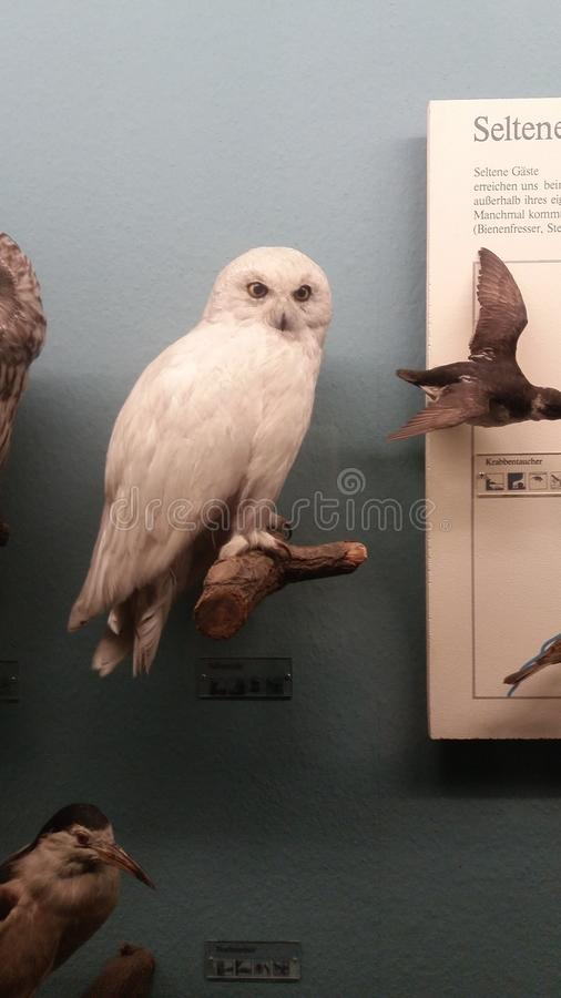 Hedwig royalty free stock images