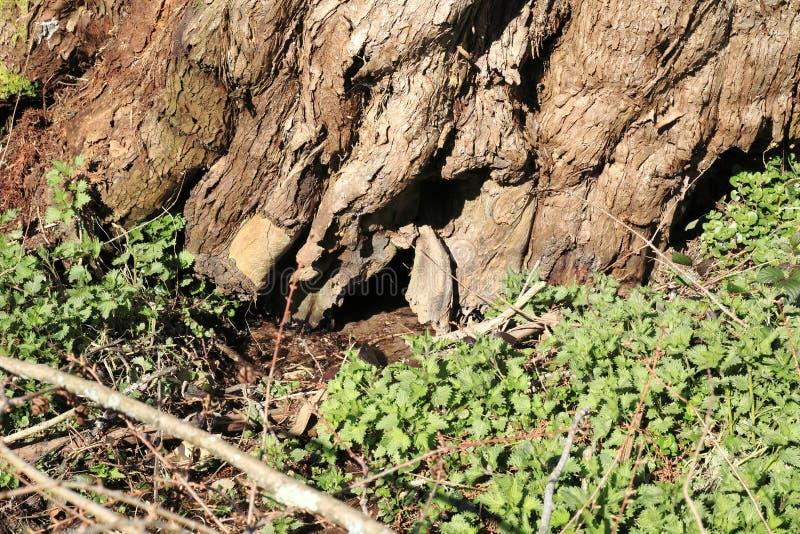 Heeft de leeftijds knoestige boom door een kleine beekmanier ontruimd stock fotografie