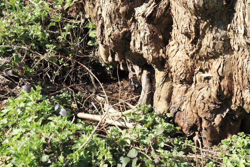 Heeft de leeftijds knoestige boom door een kleine beekmanier ontruimd stock afbeelding