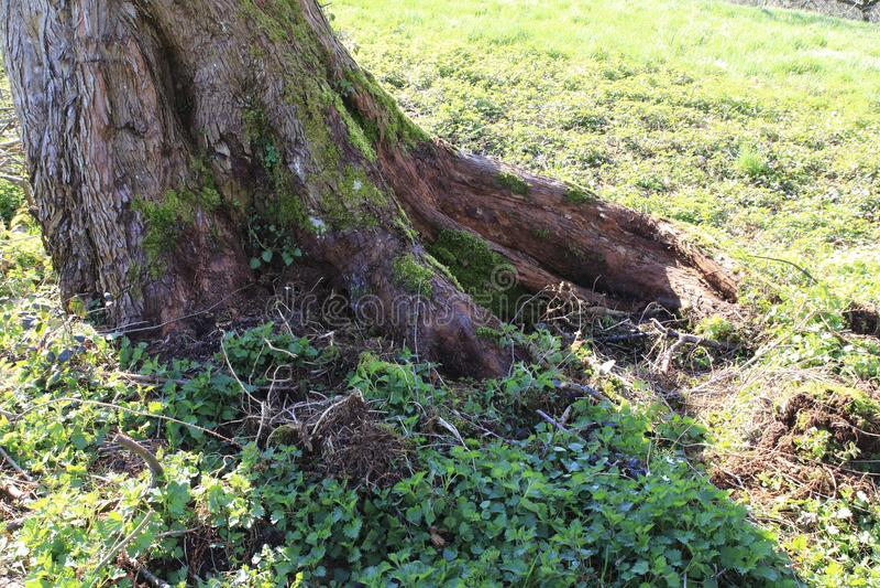 Heeft de leeftijds knoestige boom door een kleine beekmanier ontruimd royalty-vrije stock afbeelding