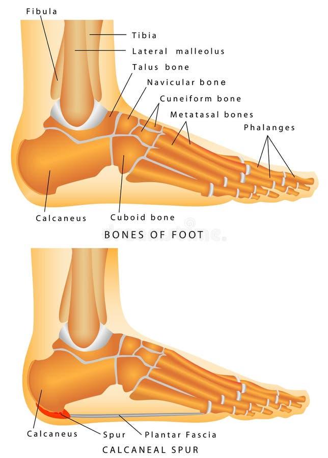 Download Heel Spur. stock vector. Illustration of medicine, medical - 39535695