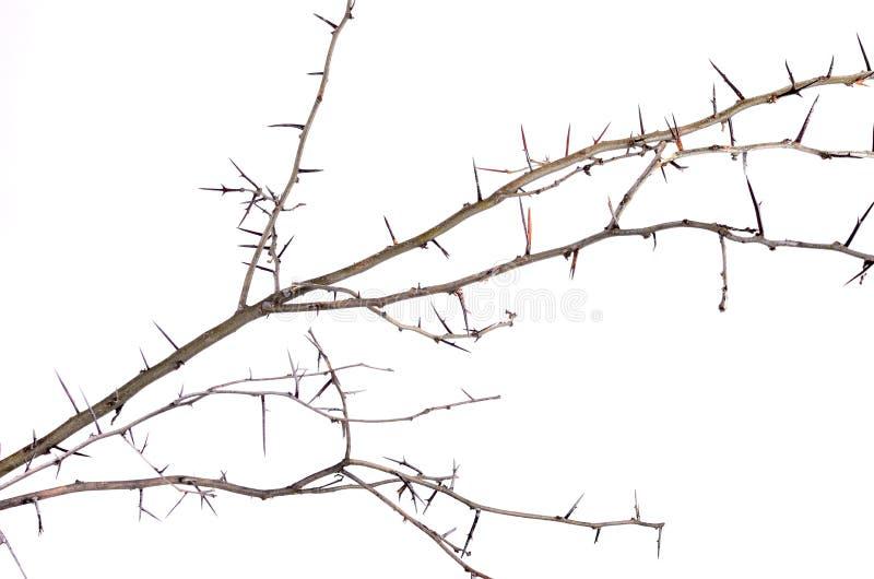 Heel wat acacia vertakt zich met doornen die op witte backgroun worden geïsoleerd royalty-vrije stock afbeelding