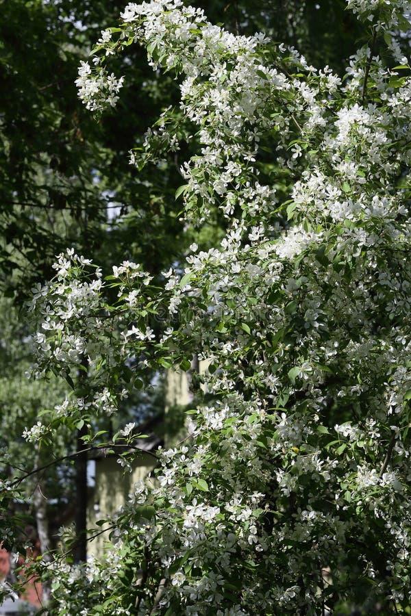 Heel wat appel komt op de achtergrond van de stad tot bloei stock afbeeldingen