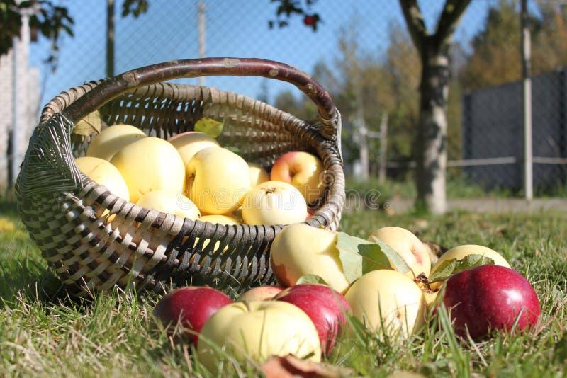 Heel wat appelen in de mand stock foto