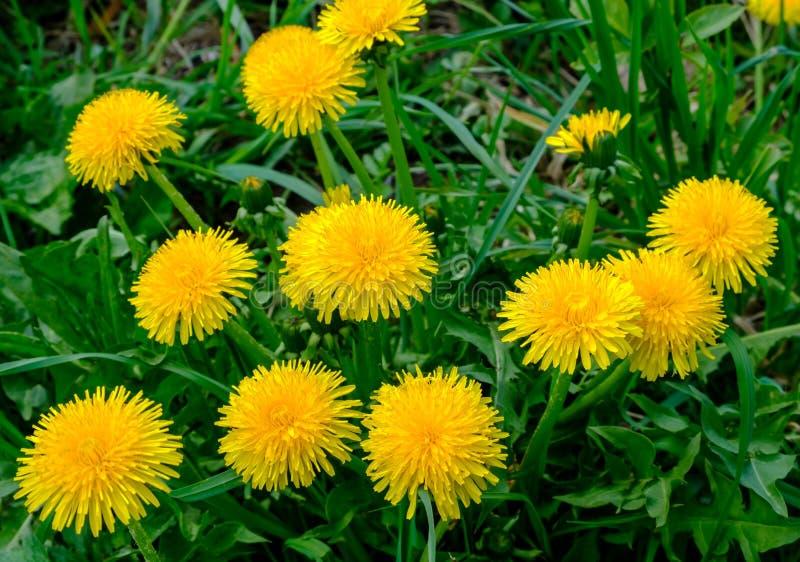 Heel wat bloeiende gele paardebloemen op een groene weide stock afbeeldingen