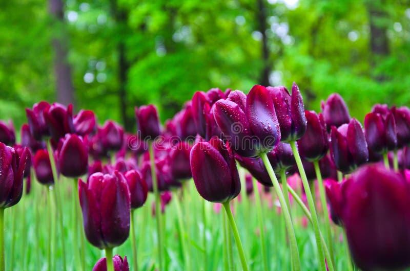 Heel wat bloeiende purpere tulpen royalty-vrije stock foto