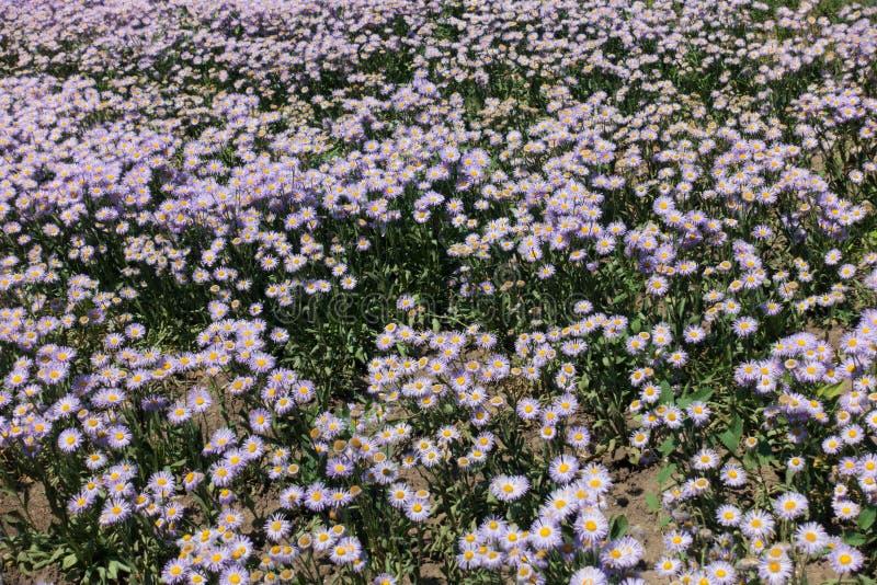 Heel wat bloemen van Erigeron-speciosus royalty-vrije stock afbeelding