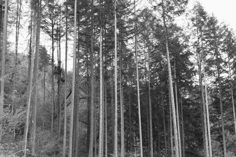 Heel wat boomboomstammen in een spar bosduitsland, Europa royalty-vrije stock afbeelding