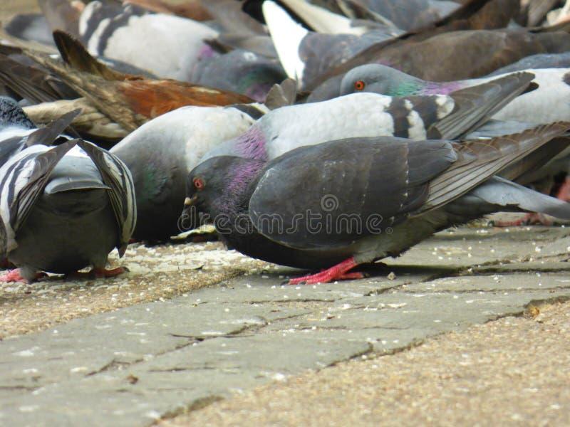 Heel wat duiven die bij de straat eten stock afbeeldingen