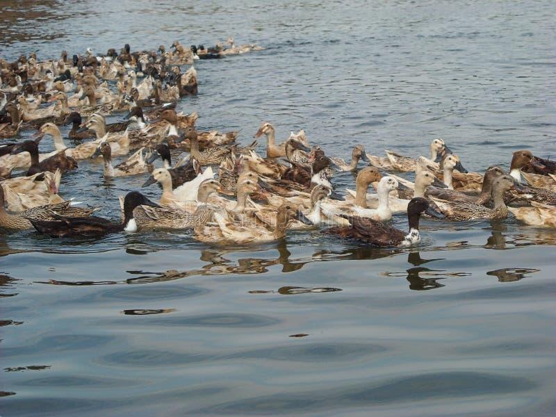 Heel wat eenden op de rivier royalty-vrije stock afbeelding