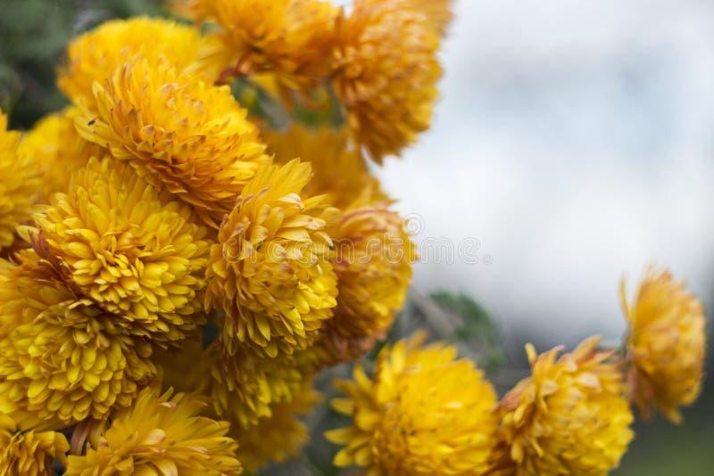 Heel wat geeloranje chrysanten - de heldere herfst bloeit in de tuin stock foto's