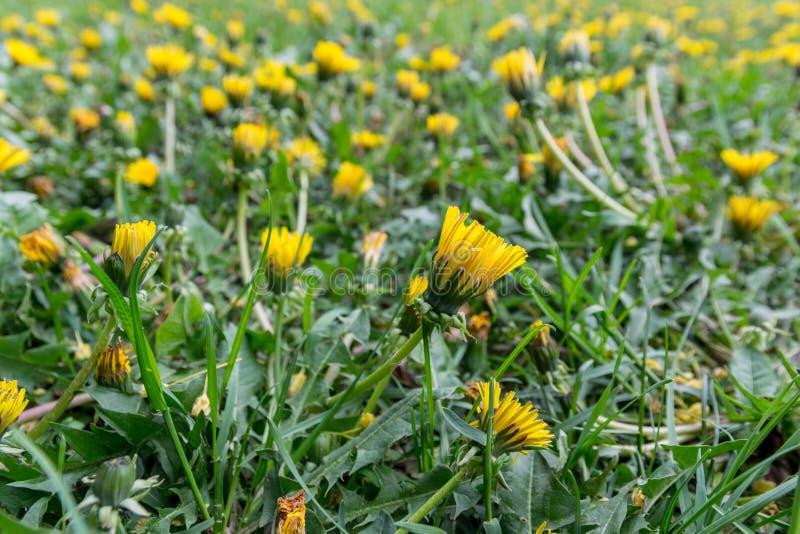 Heel wat gele paardebloemen op het de lentegebied royalty-vrije stock afbeelding