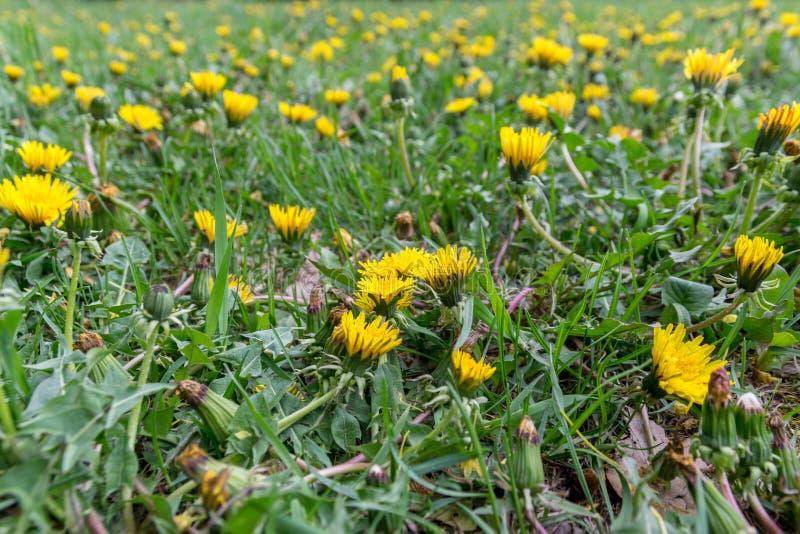 Heel wat gele paardebloemen op het de lentegebied royalty-vrije stock foto's