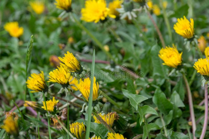 Heel wat gele paardebloemen op het de lentegebied stock foto