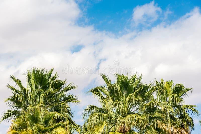 Heel wat grote groene Afrikaanse palm tegen de blauwe hemel stock foto