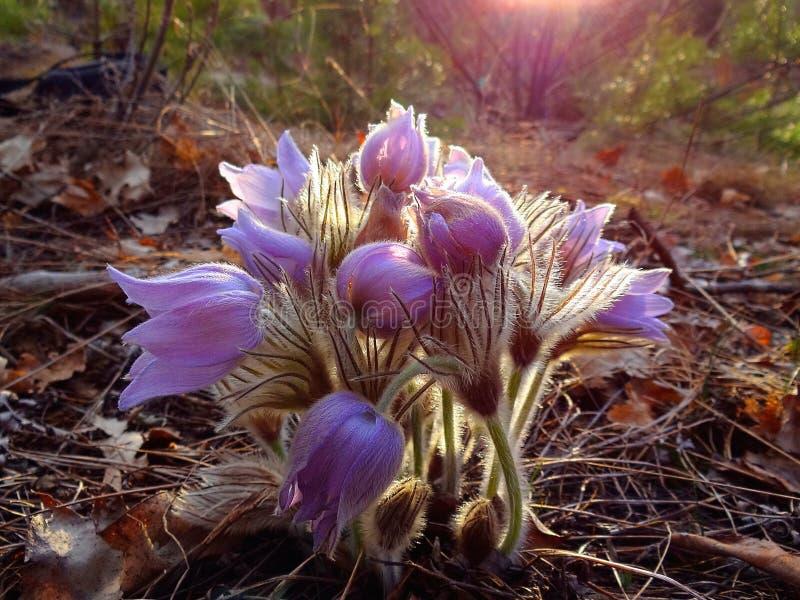 Heel wat het kleine wilde bloeien bloeit in het de lentebos op een zonnige dag royalty-vrije stock foto's