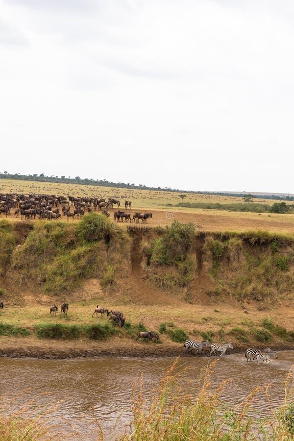 Heel wat hoofed dieren op de kust Begin voor kruising kenia stock foto