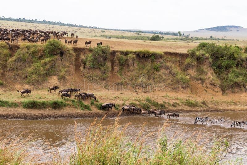 Heel wat hoofed dieren op de kust Begin voor kruising kenia stock fotografie
