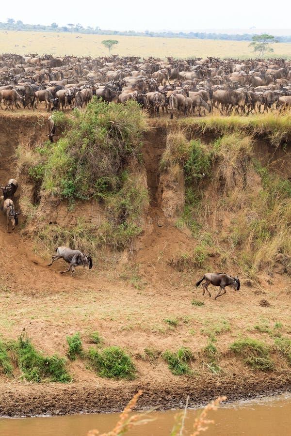 Heel wat hoofed dieren op de kust Masai Mara, Kenia royalty-vrije stock fotografie