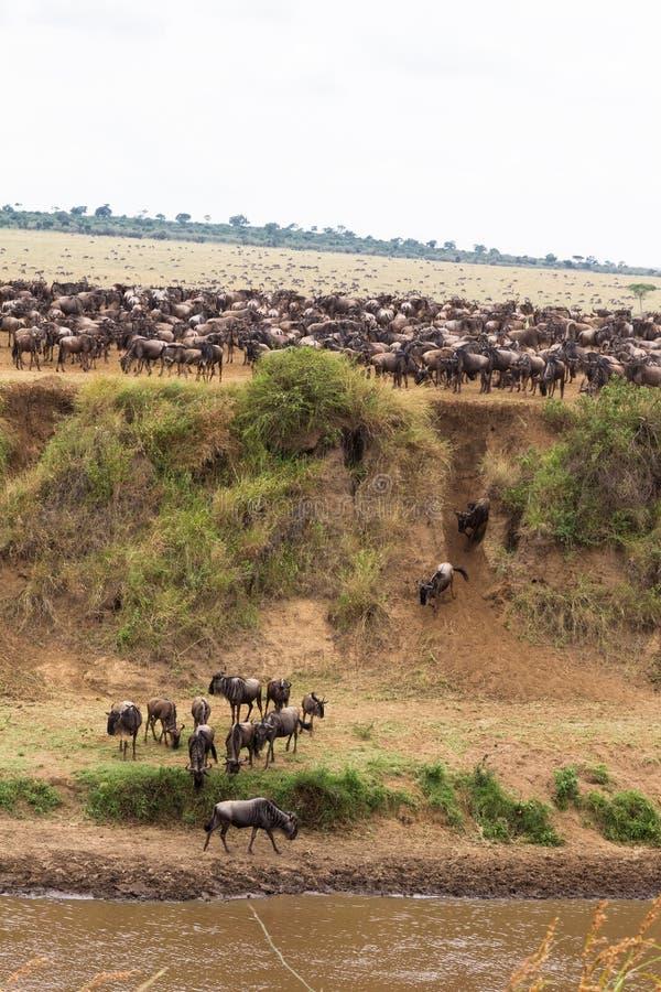 Heel wat hoofed dieren op de kust Masai Mara, Kenia stock foto's