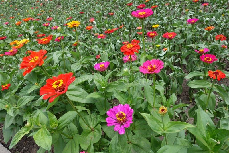 Heel wat kleurrijke bloemen van Zinnia stock fotografie