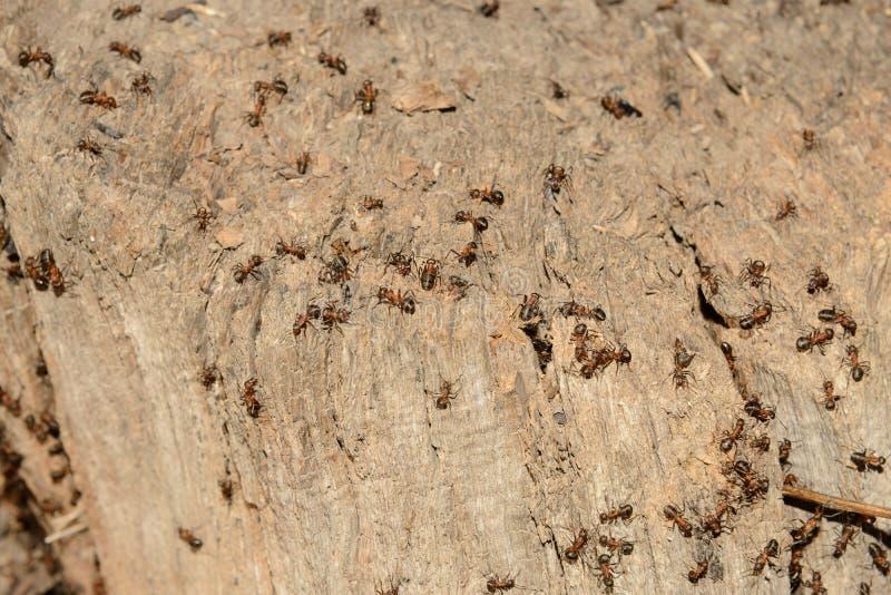 Heel wat mieren op de oude rotte stomp royalty-vrije stock foto's