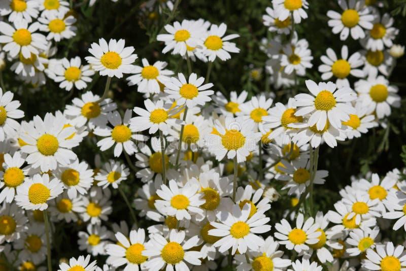 Heel wat mooie witte bloemen royalty-vrije stock fotografie