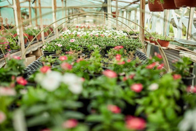 Heel wat potten met bloemzaailingen in serre op een zonnige dag royalty-vrije stock foto's