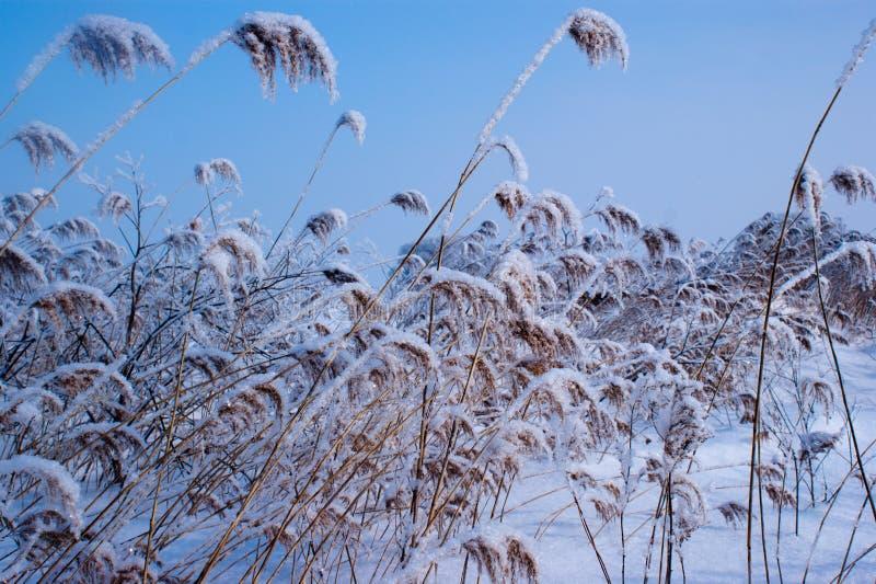 Heel wat riet in de sneeuw stock foto's