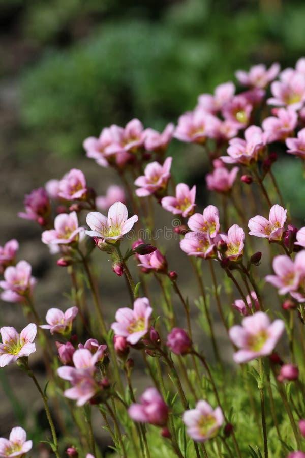Heel wat roze bloemen van bemoste steenbreek stock fotografie