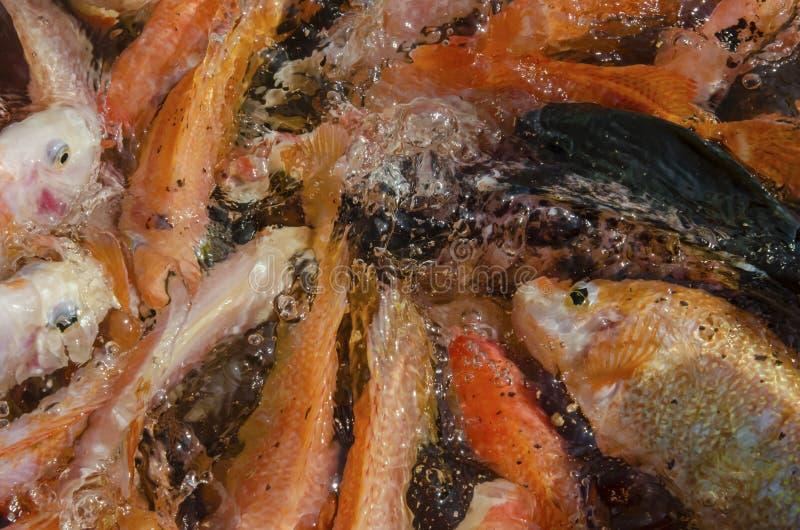 Heel wat vissen bij een viskwekerij in Ceylon stock foto