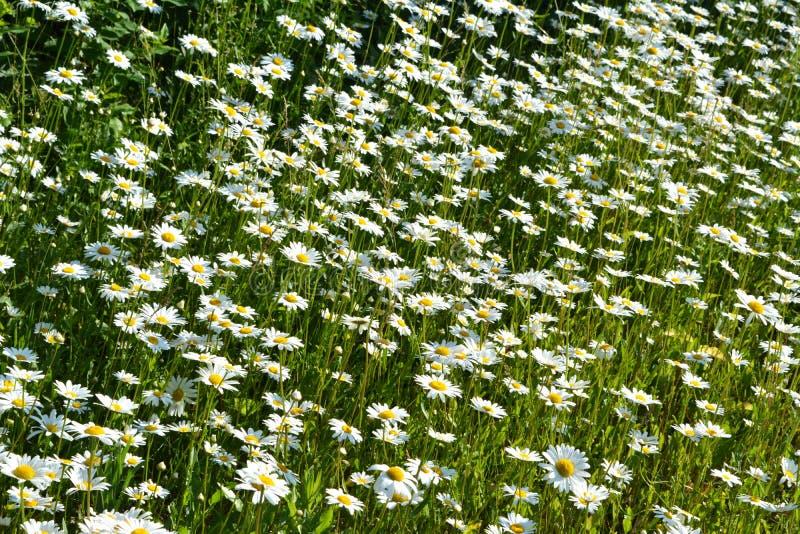 Heel wat witte bloemen van kamille in zonnige de zomerdag Mooie weide met madeliefjes royalty-vrije stock afbeeldingen
