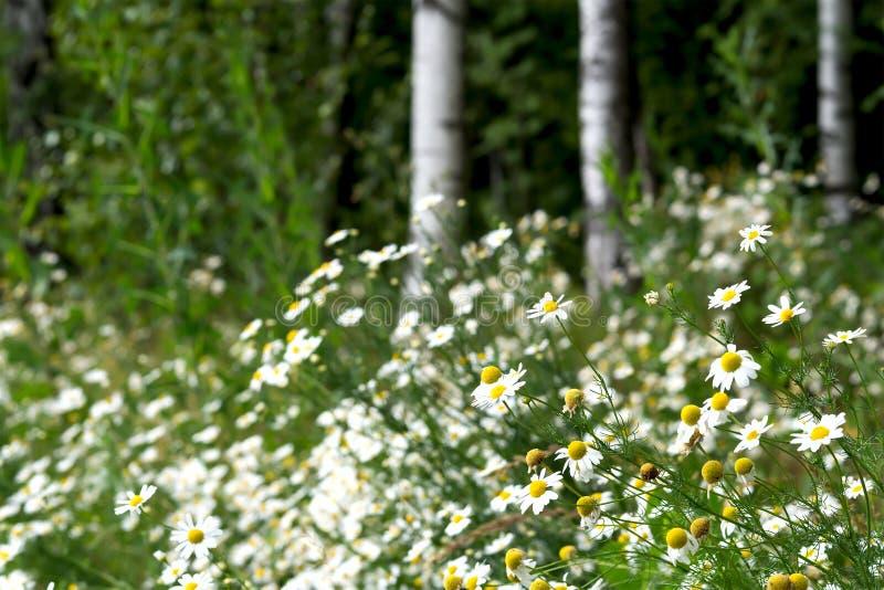 Heel wat witte gebiedskamille, Russische berk, zonnige de zomerdag royalty-vrije stock foto