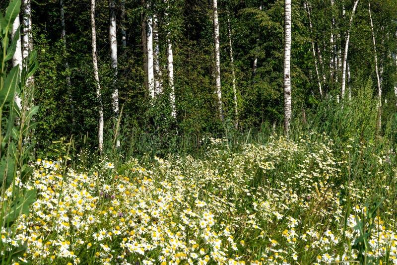Heel wat witte gebiedskamille, Russische berk, zonnige de zomerdag stock afbeelding