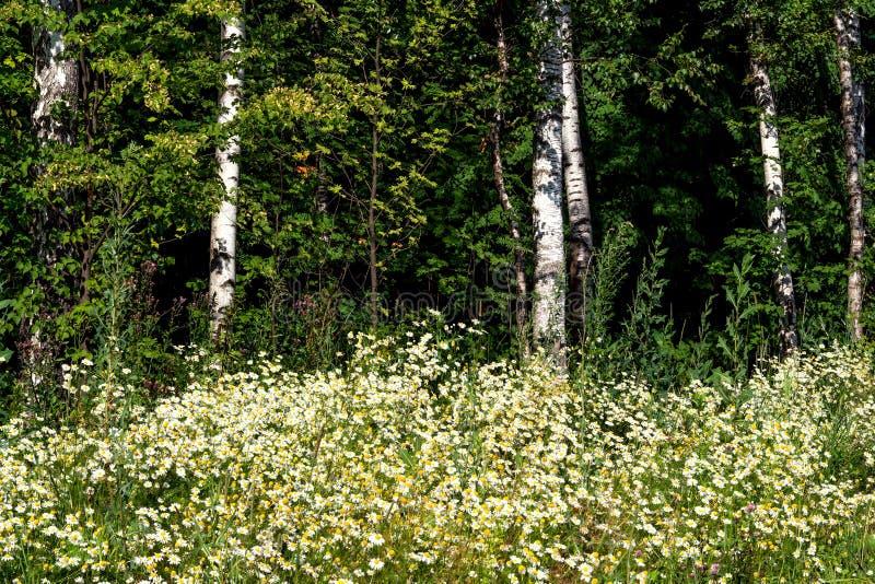 Heel wat witte gebiedskamille, Russische berk, zonnige de zomerdag stock foto