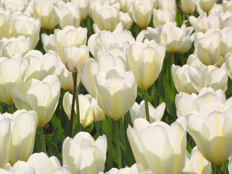Heel wat witte tulpen natuurlijke achtergrond stock fotografie