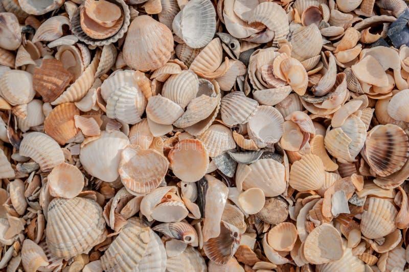 Heel wat zeeschelpen die in wanorde op het strand van het overzees van Azov liggen royalty-vrije stock afbeeldingen