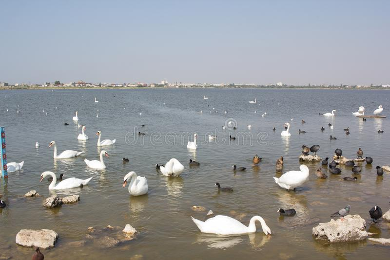 Heel wat zwanen en andere vogels op de waterspiegel stock foto's